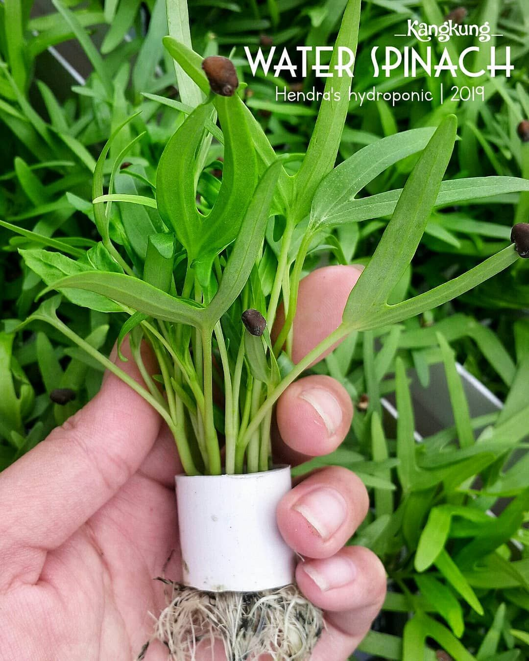 This Is Our Simple Tutorials How To Grow Water Spinach From Seeds And No Rockwool Needed Tak Terasa Usia Water Spinach Hydroponics Hydroponic Gardening