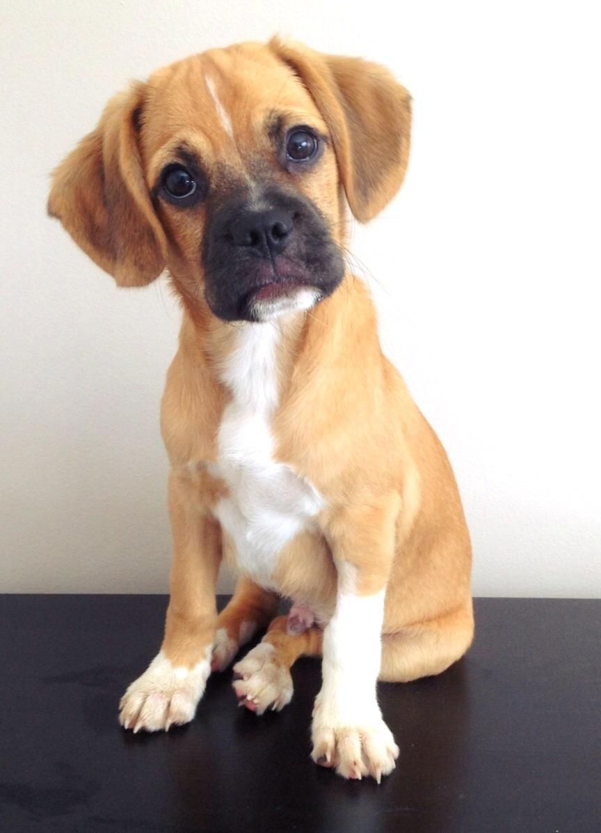 Boxer Beagle Mix Puppy Extremely Cute She S Very Sweet And Good