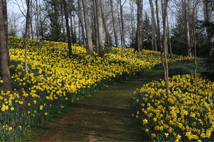 gibbs daffodil garden