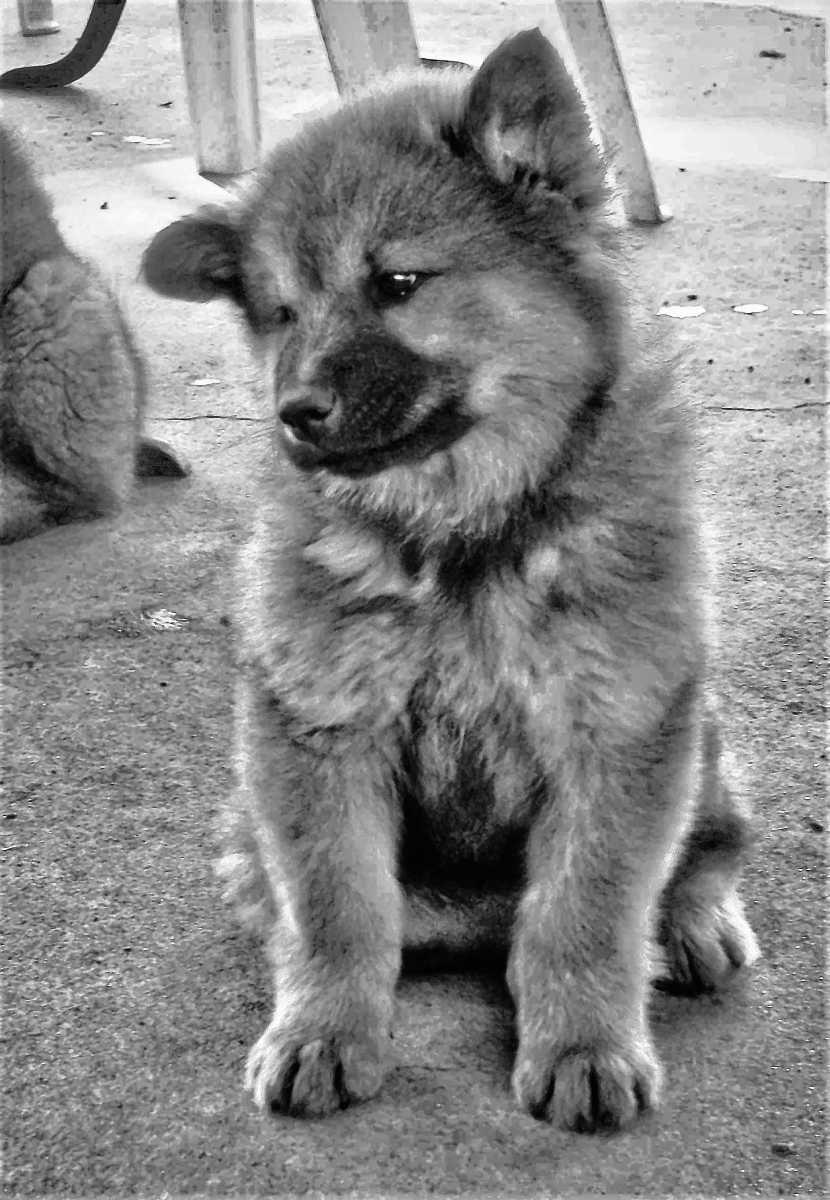 Hund Eurasier Welpe Eurasier welpen, Eurasier, Hunde