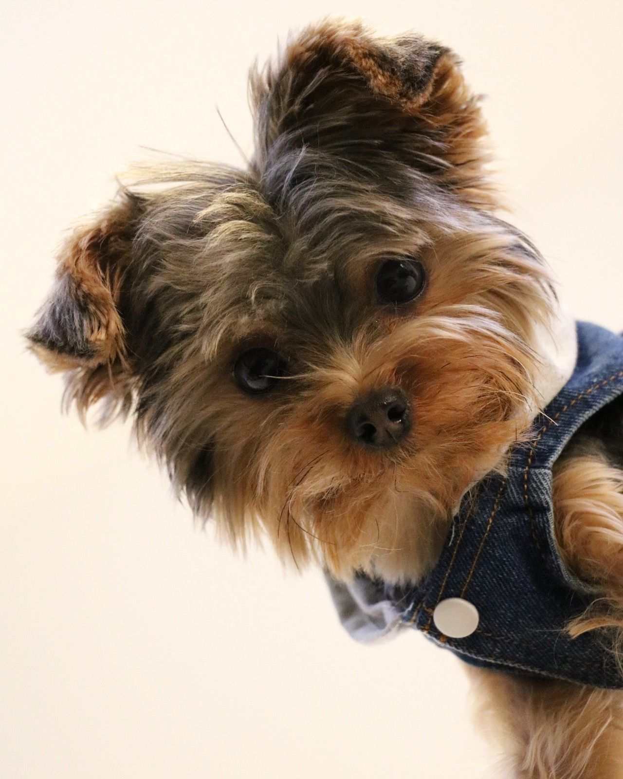 Little Yorkshire Terrier Posing An Grass Yorkie Dog Yorkshireterrier Yorkshire Terrier Yorkie Dogs Yorkshire Terrier Puppies