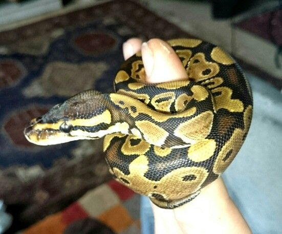 Small Royal or Ball Python rescue  These are becoming more