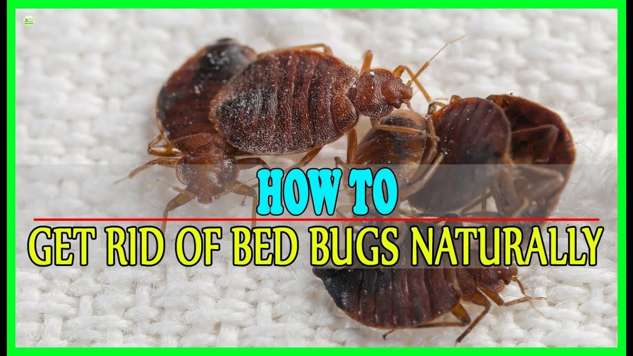 9 Effective Home Remedies To Get Rid Of Bed Bugs Naturally