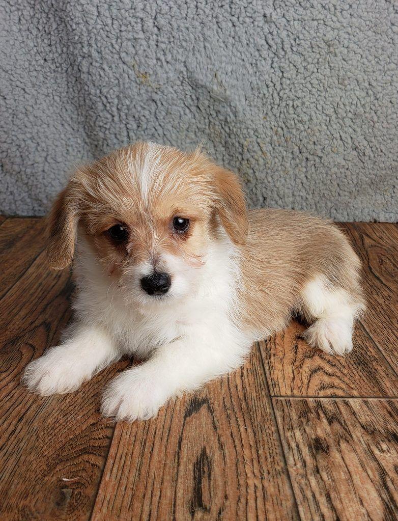 Lou Lou Female Corgichon 850 Doggy Bichon Corgi