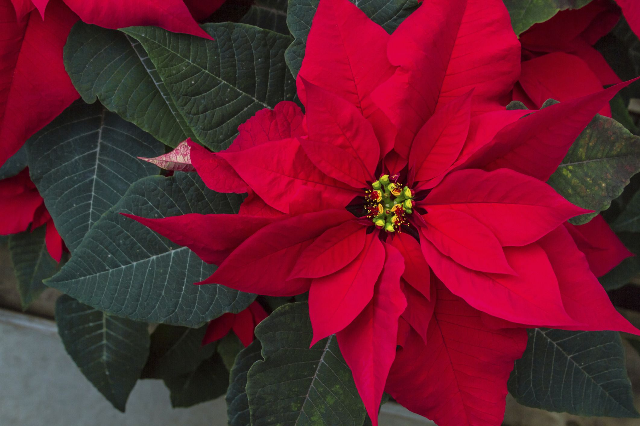 How To Make A Poinsettia S Leaves Turn Red Hunker Poinsettia Plant Poinsettia Leaves Poinsettia