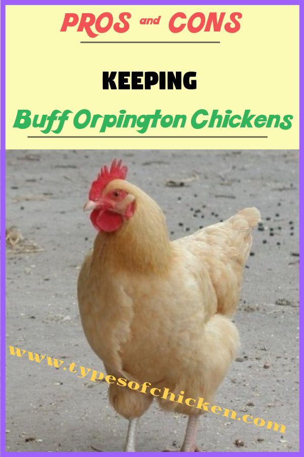 PROS & CONS of Keeping Buff Orpington Chicken! | Buff ...