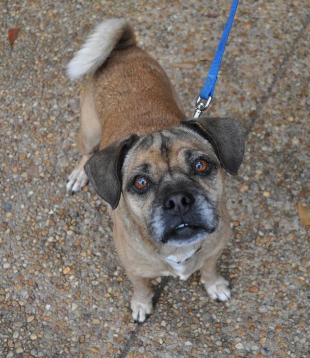 Adopt Elton On Pug Beagle Mix Pug Beagle Beagle Mix