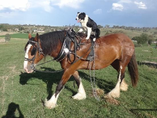 Ruby Border Collie Dog Riding Bella Clydesdale Horse