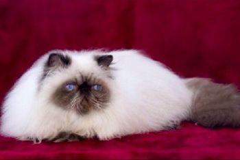 Seal Point Himalayan Persian Himalayan Cat Cats And Kittens