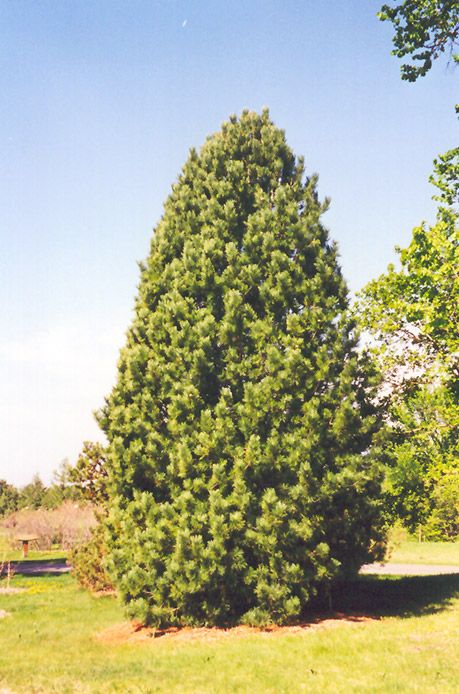 Swiss Stone Pine Pinus cembra at Bachmans Landscaping Rp22015
