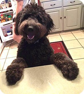 Westport Ct Labradoodle Goldendoodle Mix Meet Gracie A Dog For Adoption Labradoodle Labradoodle Goldendoodle Dog Adoption
