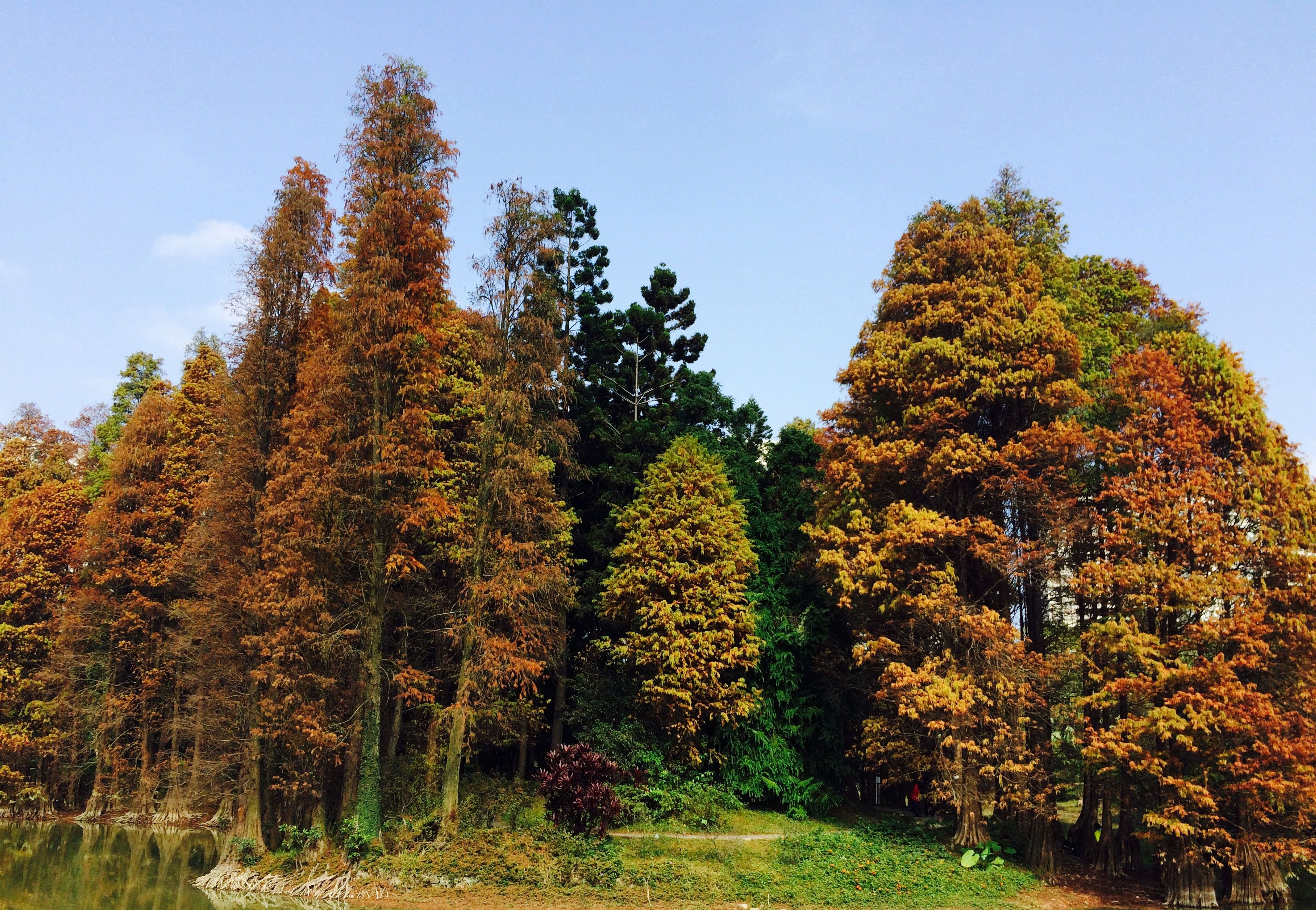 The Taxodium distichum in South China Botanical Garden, Chinese ...