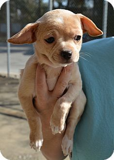 Sweetheart Adopted Puppy Hopkinsville Ky Chihuahua Poodle