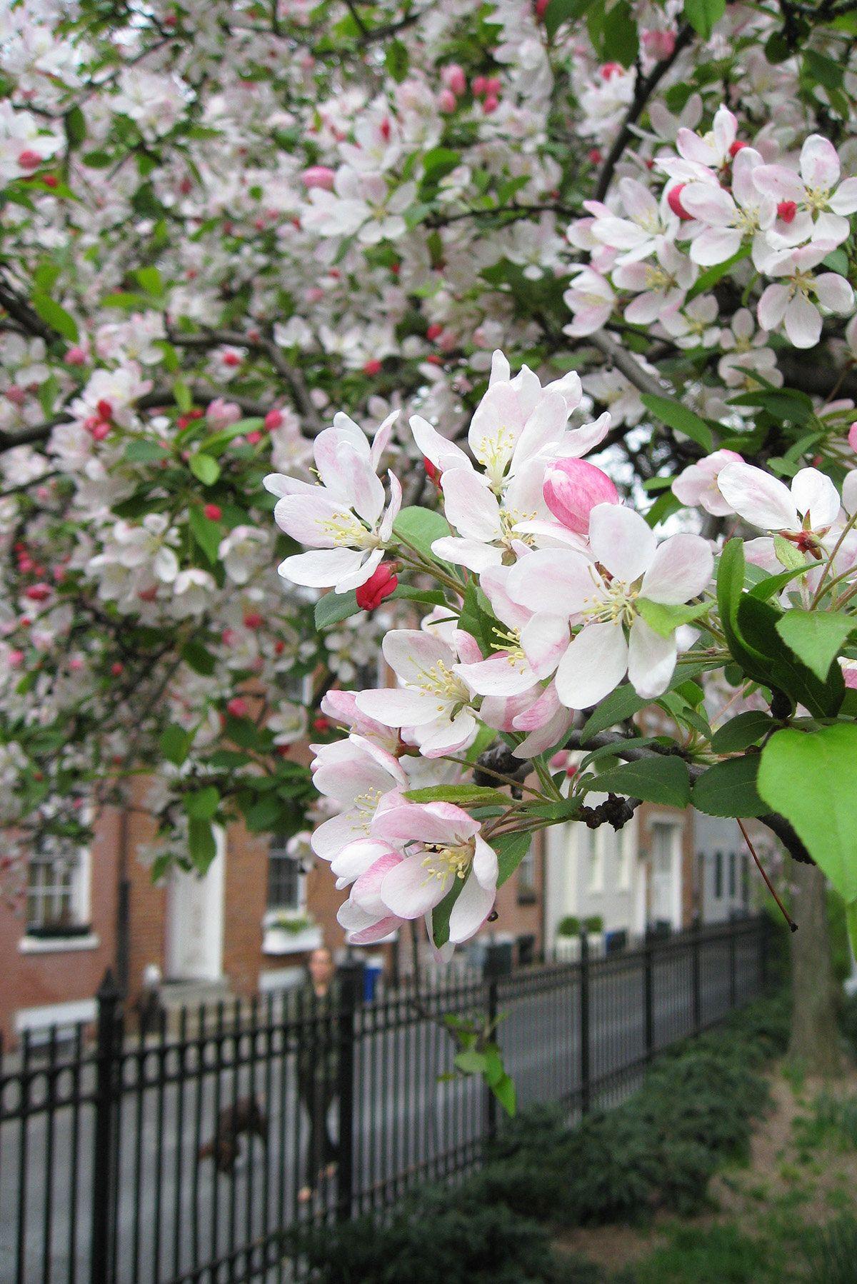 Gardening 101 Crabapple Trees Gardenista Crabapple Tree Flowering Crabapple Tree Apple Tree Care