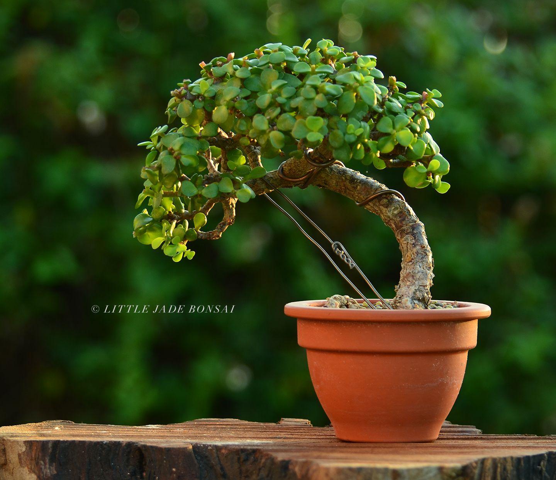 Trunk Bending On A Dwarf Jade Portulacaria Afra By Little Jade Bonsai Jade Bonsai Jade Plant Bonsai Bonsai Plants
