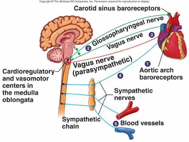 43+ Vagus nerve blood pressure trends