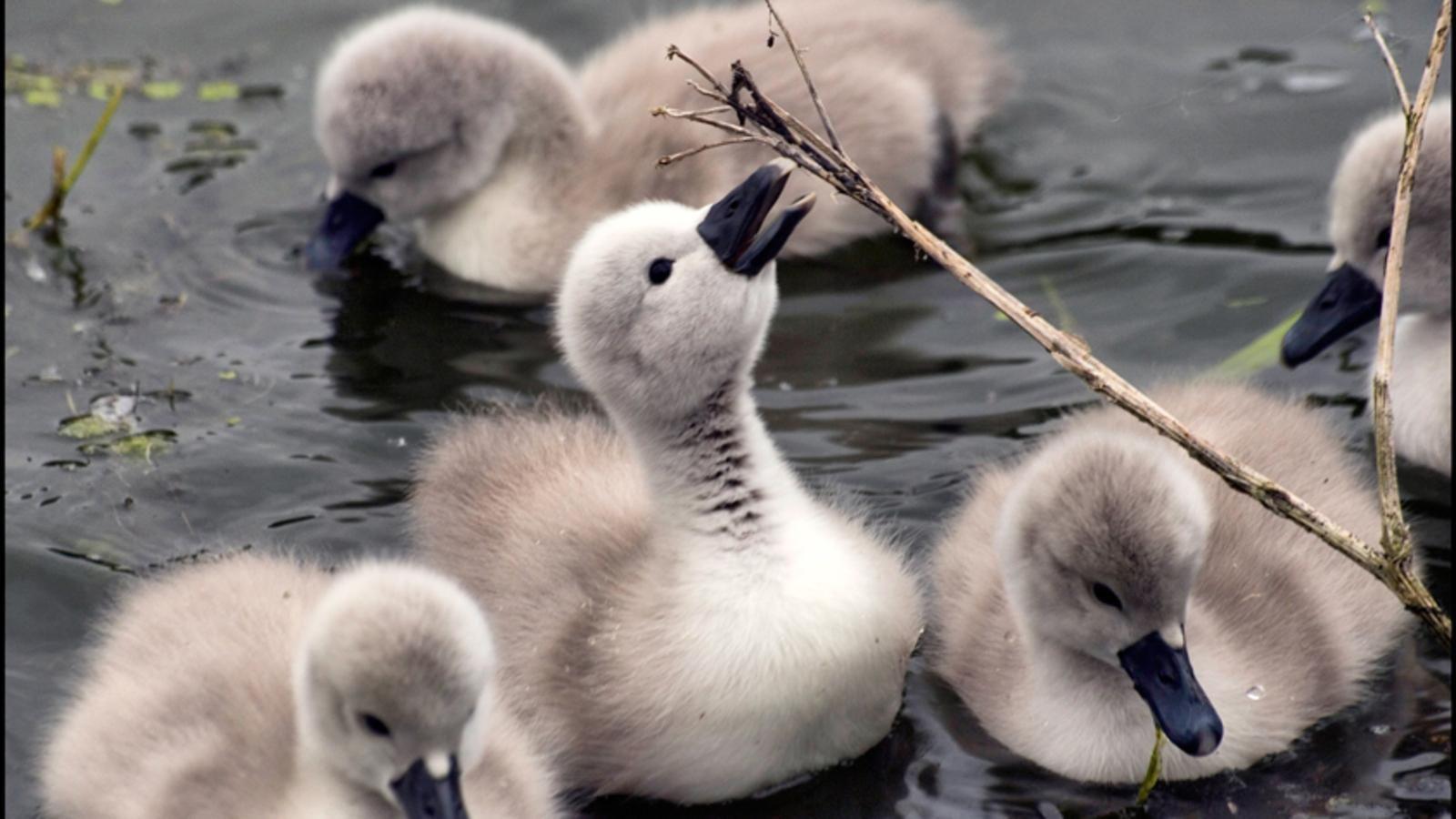 Baby Swan | baby swan - Baby Animals Photo (19796028 ...