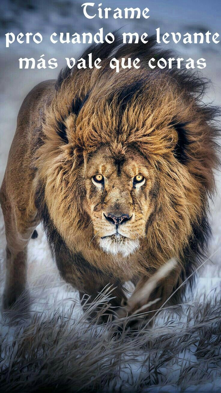 Leon Frases M A N O Pinterest Animals Cats Y Big Cats