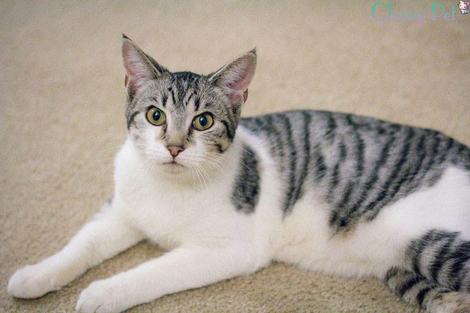 American Shorthair 47 White Tabby Cat Silver Tabby Cat