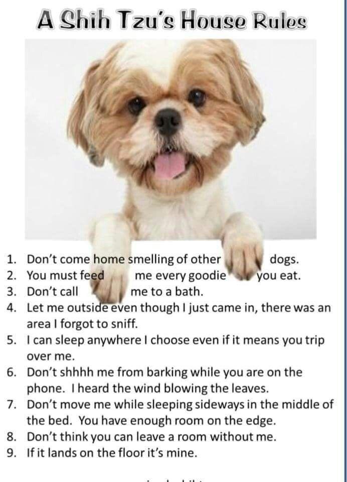 Shih Tzu Rules Shih Tzu Puppy Shih Tzu Dog