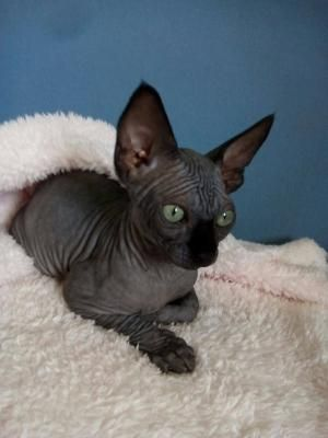 Sphynx Black Canadian Sphynx Female Cats Buy Or For Sale