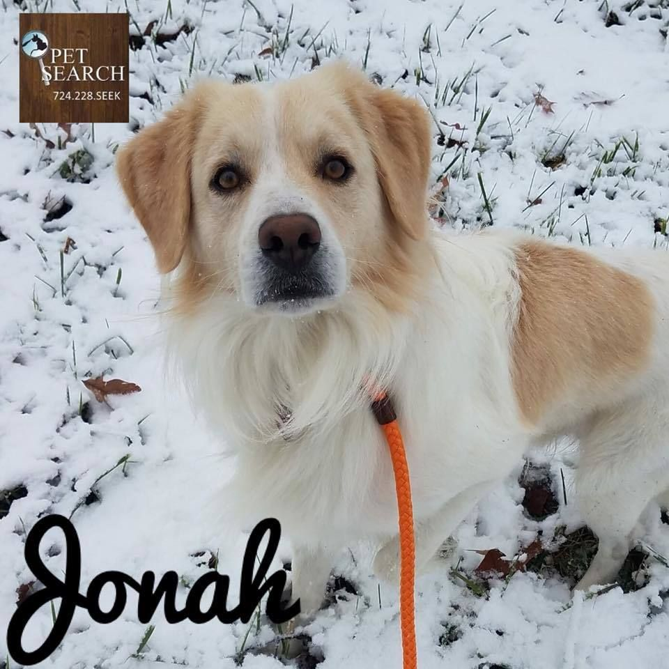 Jonah is an adoptable golden retriever searching for a