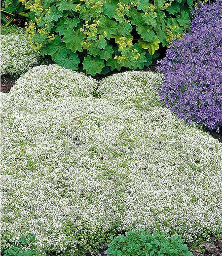 Weißer Polsterthymian3 Pflanzen Garten Colorful Garden Garden