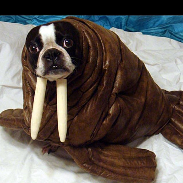 This is a picture of Echo dressed in her Halloween costume as a walrus. She is a 7 year old Boston Terrier and we have been doing homemade costumes fo. & Pin by Keef on Dog pictures | Pinterest | Terrier Dog and Animal