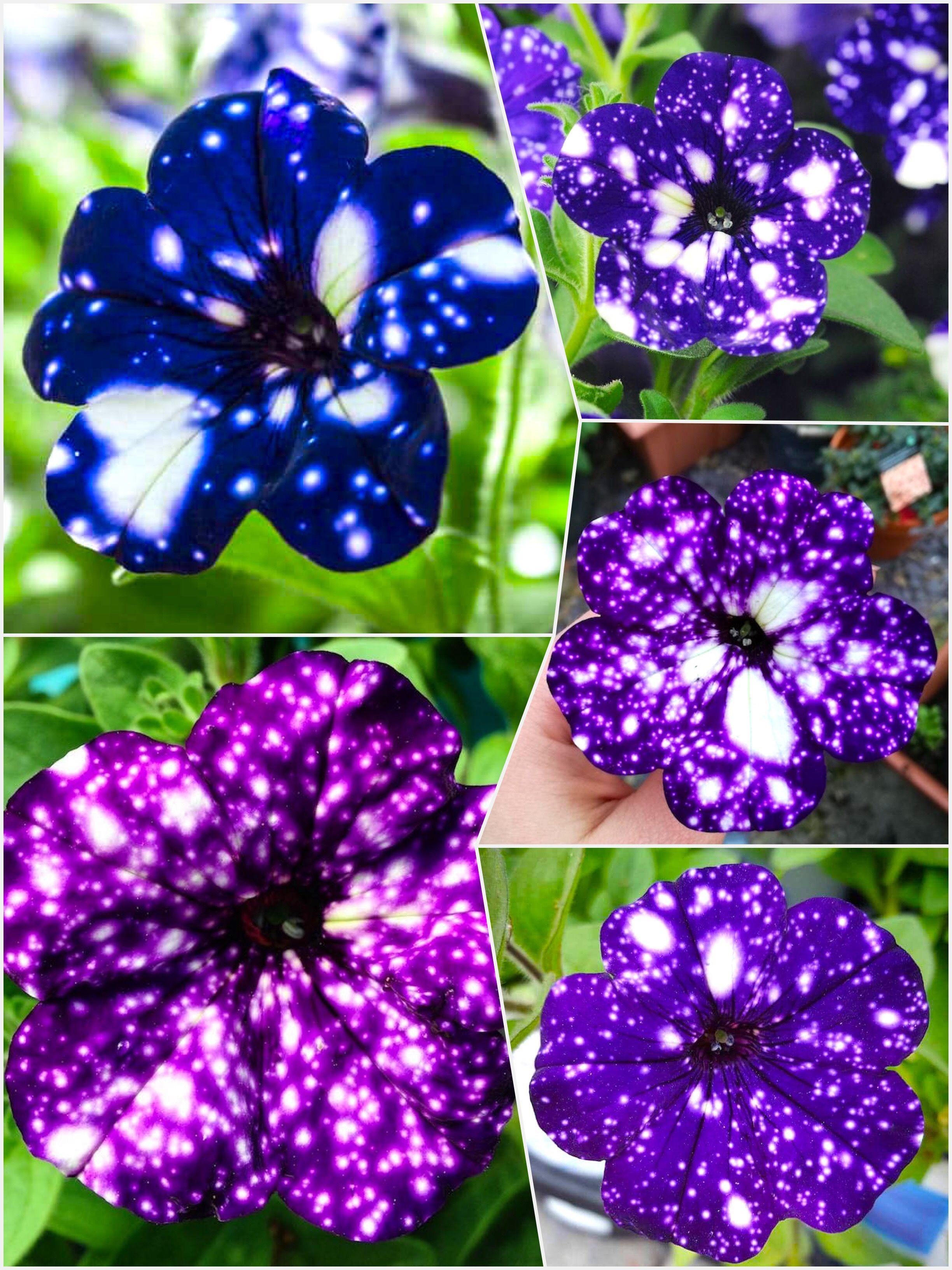 Night Sky Petunia Garden Galaxy Zodiac Horoscope