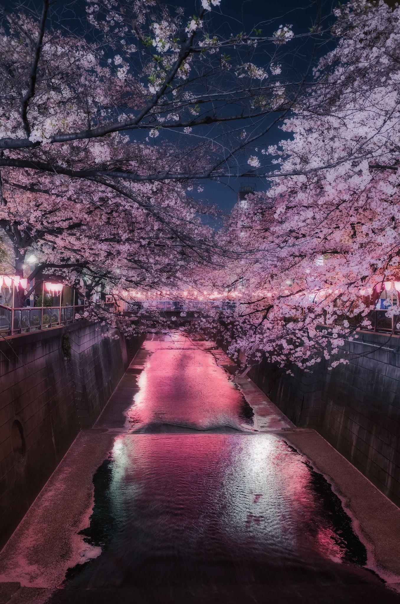 Night Cherry Blossom 03 29 18 Cherry Blossom Wallpaper Cherry Blossom Wallpaper Iphone Cherry Blossom Japan