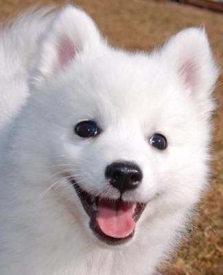 Beautiful Spitz Canine Adorable Dog - 28f86d7aaa0173b716e6c7afaea1189b  HD_412043  .jpg