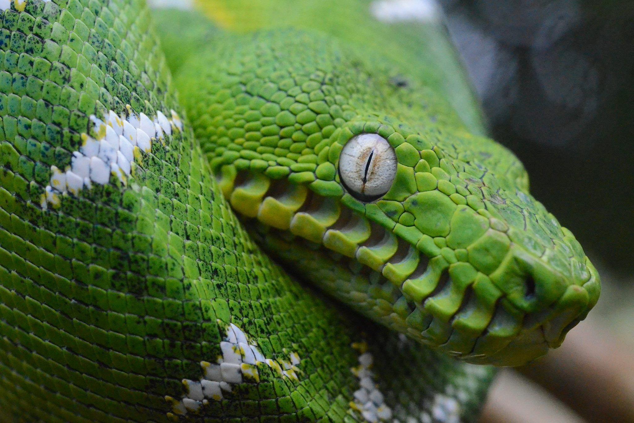 Amazon Basin Emerald Tree boa | Reptiles | Pinterest | Boas and Reptiles