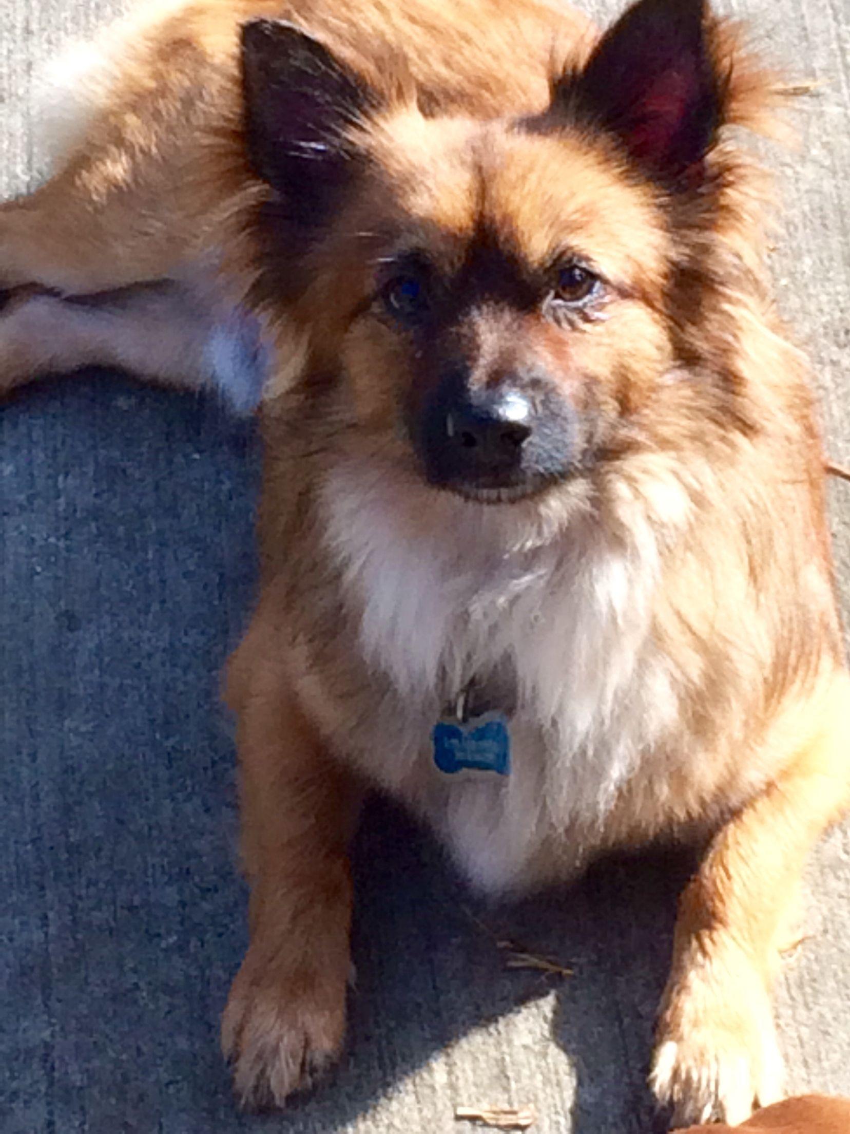Ozzy Our Corgi Pomeranian Mix Sweet As Can Be He S Like A Little Fox Dogs Corgi Pomeranian Corgi Pomeranian Mix