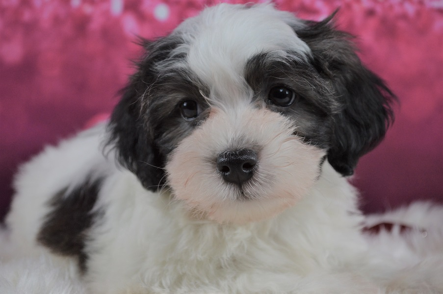 Havanese Puppies For Sale Royal Flush Havanese In 2020 Havanese Puppies For Sale Havanese Puppies Puppies For Sale