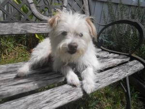 Jessup Is An Adoptable Cairn Terrier Dog In Orlando Fl Meet