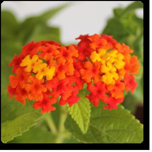 Lantana Red Haldi Kumkum Plant Tat Inspiration Plants Cool