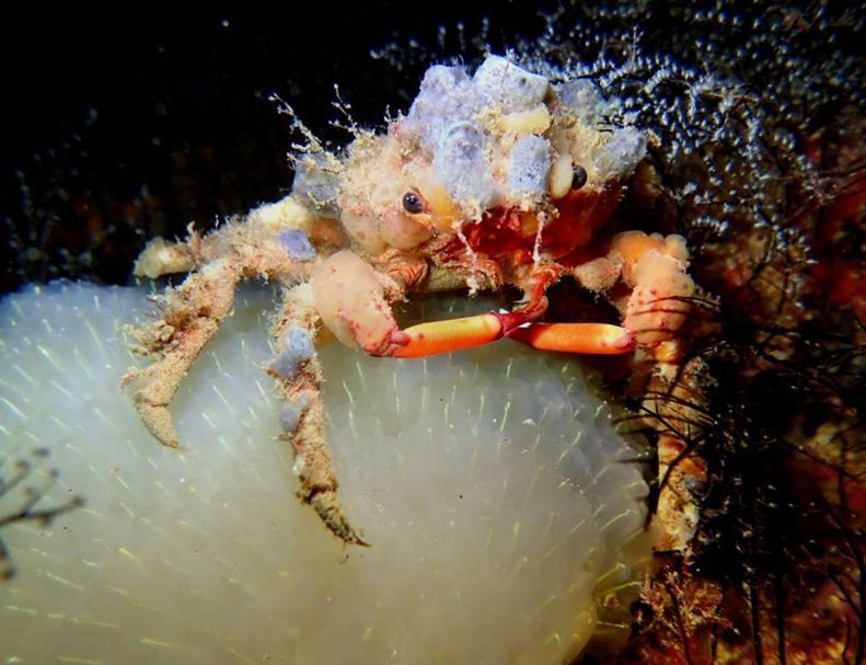 Decorator Crab - by Steve Jones #Crab