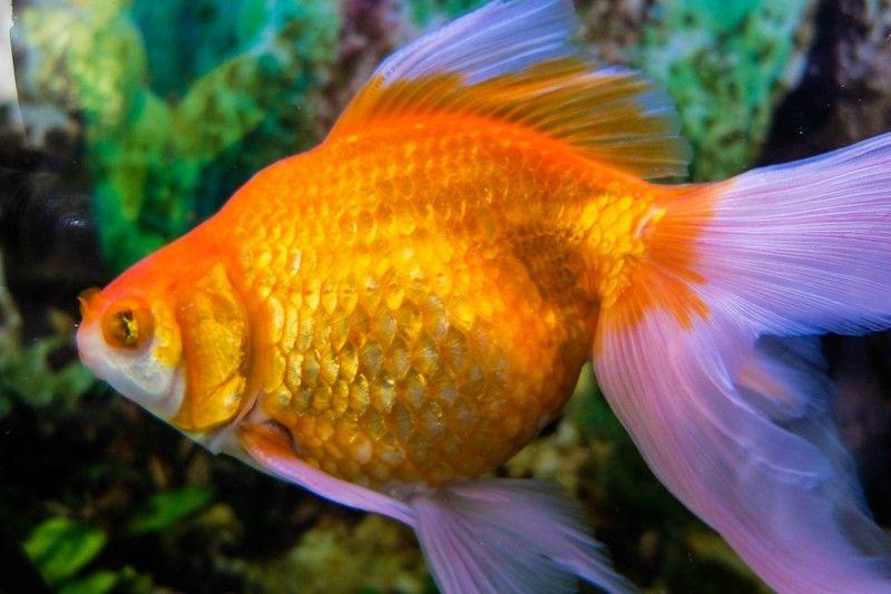 сколько живут рыбки в аквариуме? | Золотая рыбка, Аквариум ...