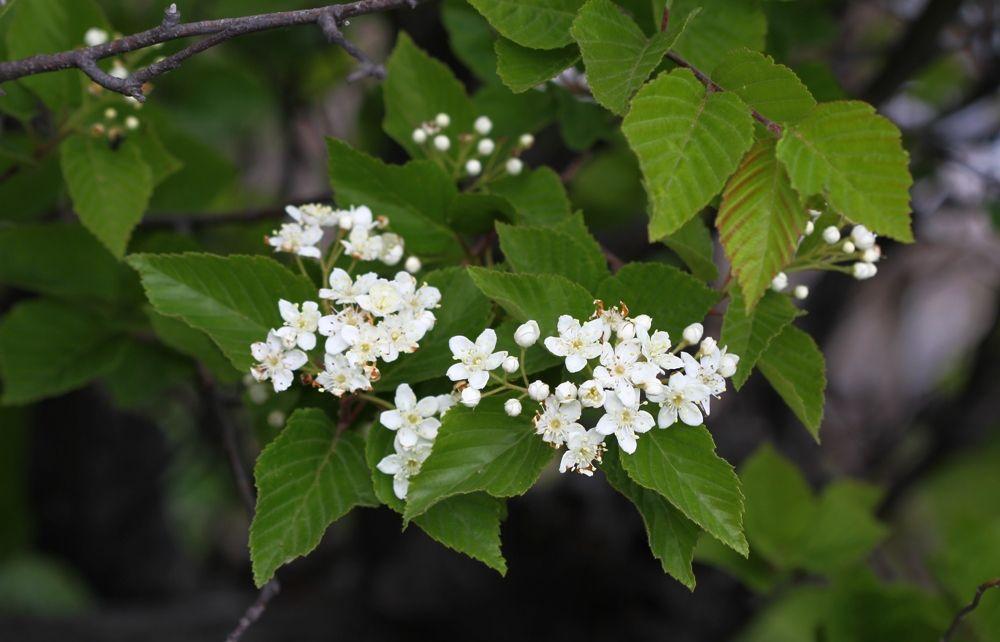 Sorbus alnifolia (Siebold & Zucc.) K. Koch (семейство Rosaceae) Рябина ольхолистная
