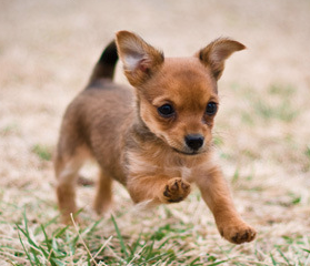 All About The Chorkie The Yorkie Chihuahua Mix Yorkie