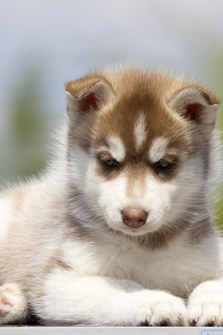 Siberian Husky Puppy Outdoors Siberianhusky In 2020 Husky Husky Puppy Siberian Husky