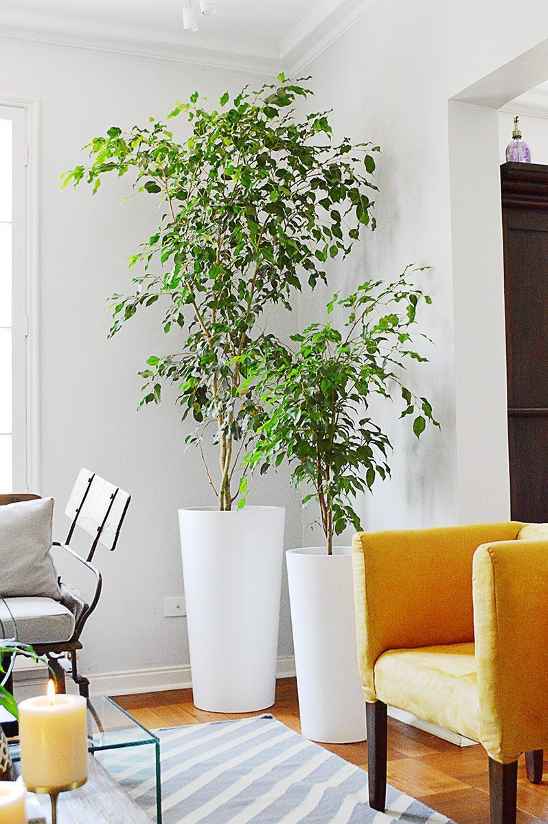 Ficus Benjamina Innen Und Gartenpflege Der Blog Ficus Benjamina Pflege In Design Model Dress Shoes Heels Styles Ou Ficus Benjamina Ficus Indoor Trees