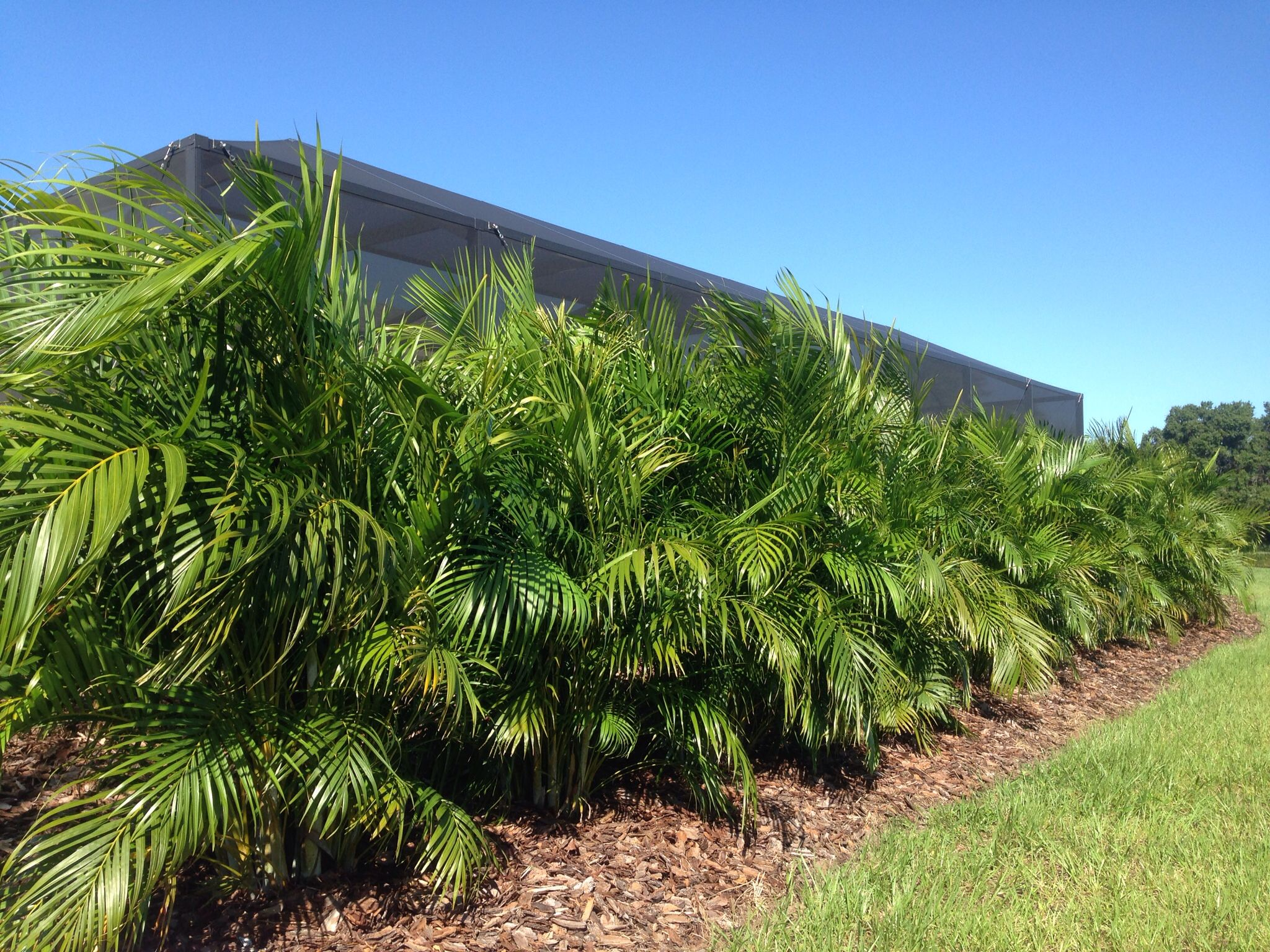 Butterfly Palm Madagascar Palm Areca Palm Chrysalidocarpus Areca Palms Make A Great Privacy Screen When Planted As A Hedge