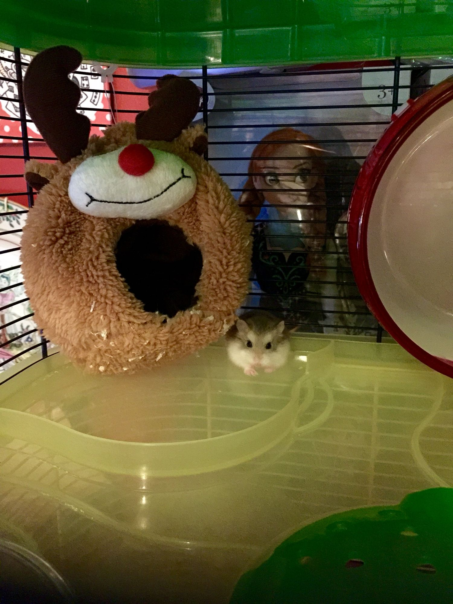 Look at my Rudolph Home! Roborovski hamster, Hamster