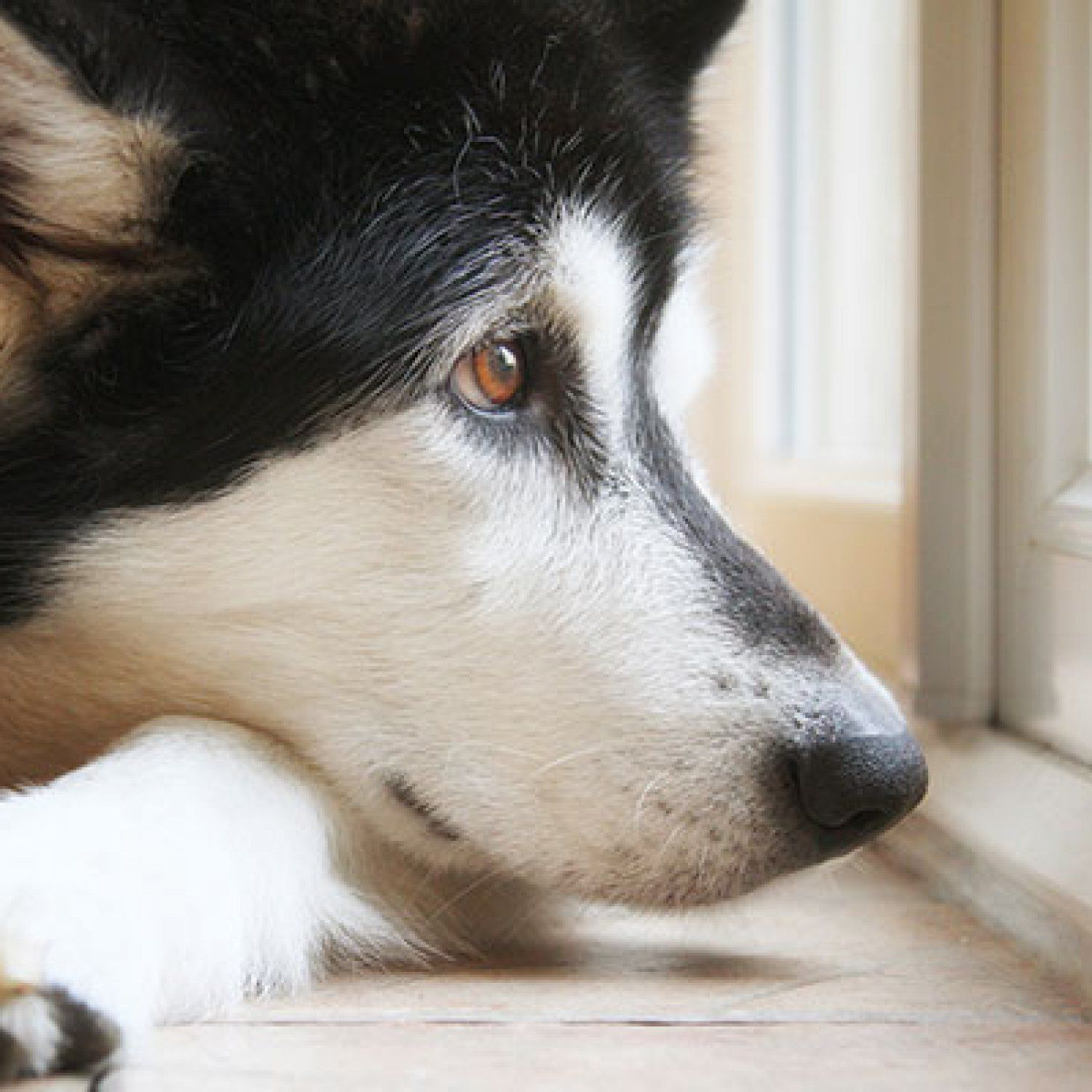 Do Your Pets Have the Winter Blues? Husky, Clever dog, Pets