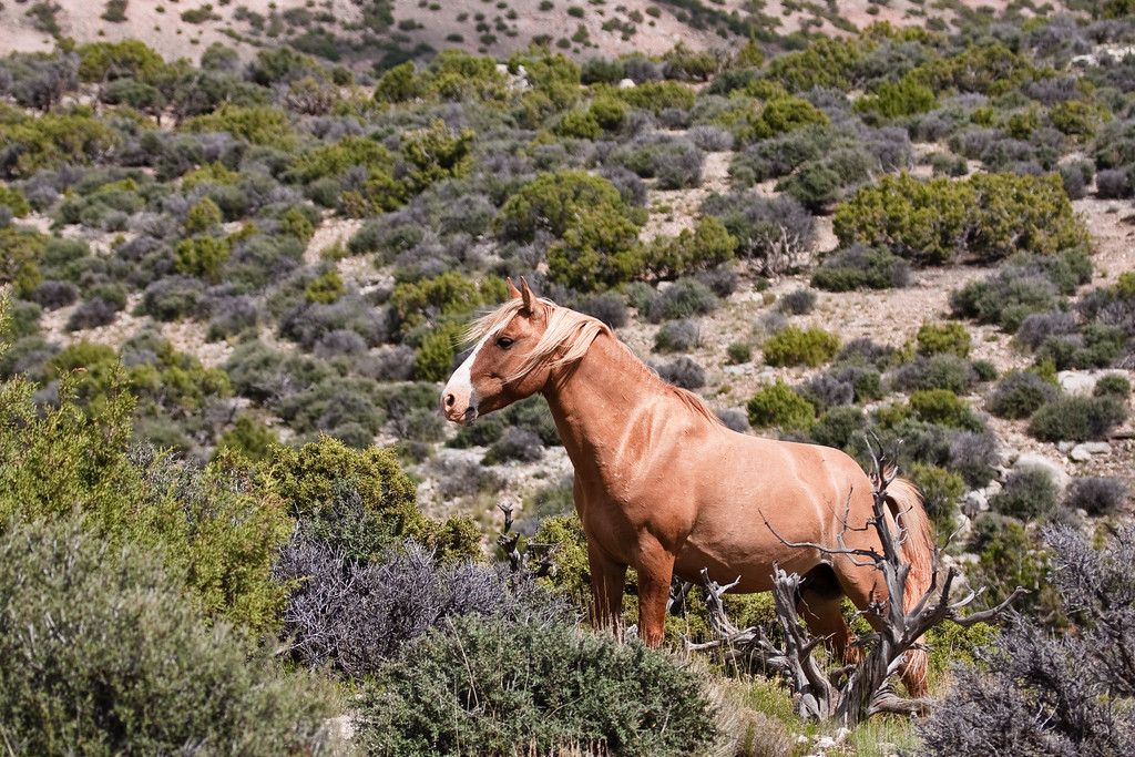 Yellow Stud: This is the lead stallion of a band of mustangs in Bighorn Canyon NRA and part of the Pryor Mountain Wild Horse Range. This photo was chosen as part of the 2011 Cowboys and Indians Magazine Photocontest. It can be seen in the March 2011 edition.