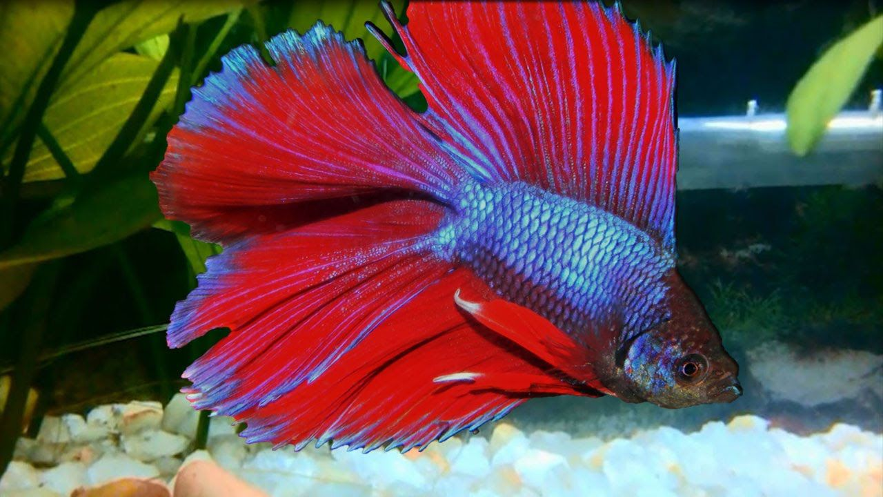 Delta Tail Betta ( Siamese fighting fish ) | Animals ~ Aquariums ...