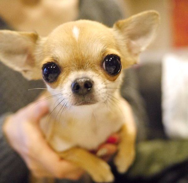 This Chihuahua Has Big Ears Chihuahua Love Cute Chihuahua