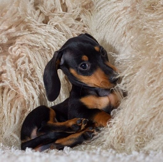 Dachshund Puppies Pictures And Facts Dachshund Puppies Puppies