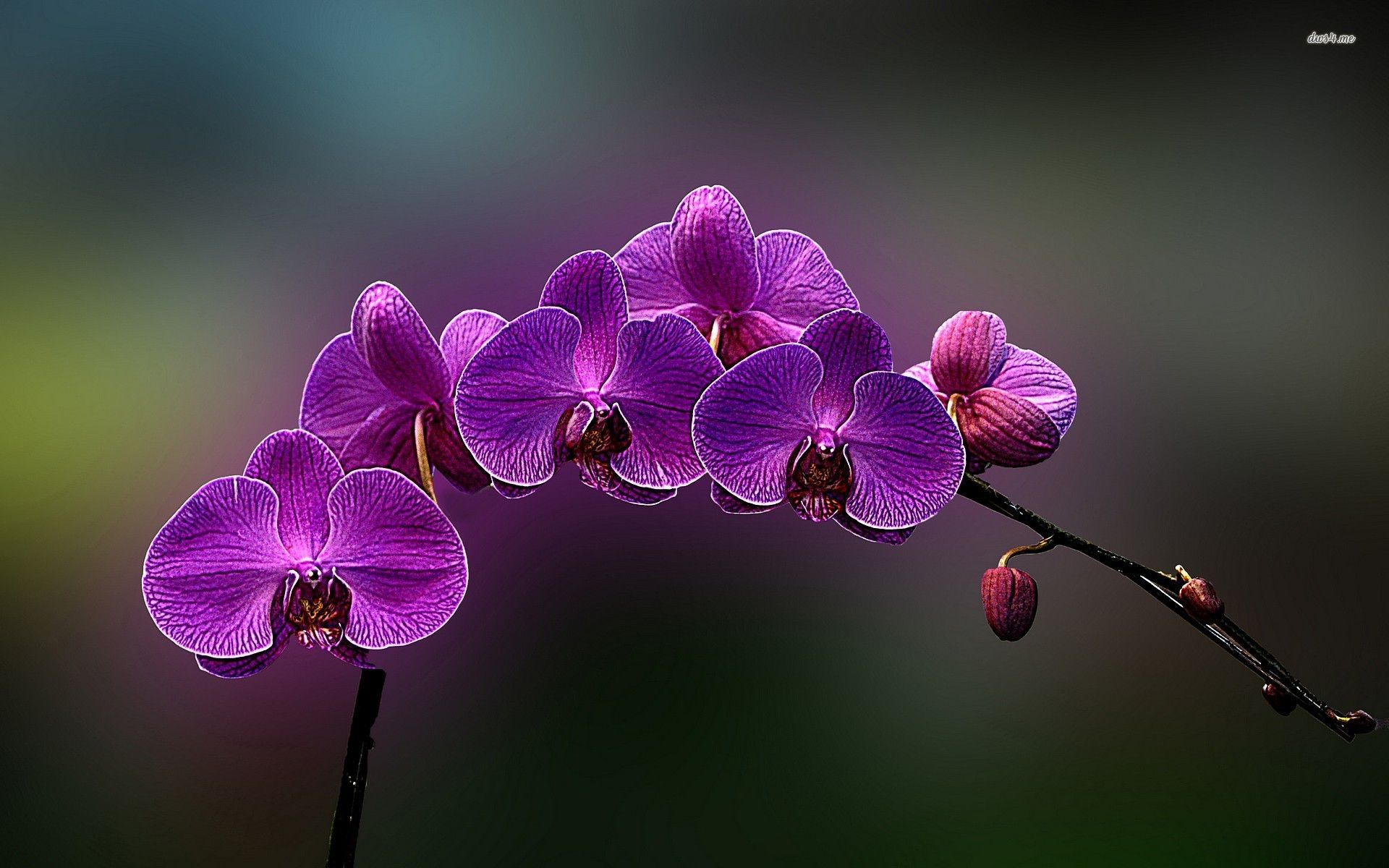 Purple Orchids Hd Wallpaper Orchid Wallpaper Orchid Drawing Purple Roses Wallpaper